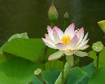 Image: Jon Sullivan http://www.public-domain-photos.com/flowers/lotus-flower-2-free-stock-photo-4.htm