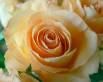 Image: Magnus Rosendahl http://www.public-domain-photos.com/flowers/apricot-colored-rose-closeup-free-stock-photo-3.htm