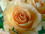 Image: Magnus Rosendahl http://www.public-domain-photos.com/flowers/apricot-colored-rose-closeup-free-stock-photo-3.htm