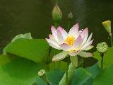 Image: Jon Sullivan http://www.public-domain-photos.com/flowers/lotus-flower-2-free-stock-photo-4.htm