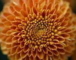 Image: Jon Sullivan http://www.public-domain-photos.com/flowers/mum-2-free-stock-photo-4.htm